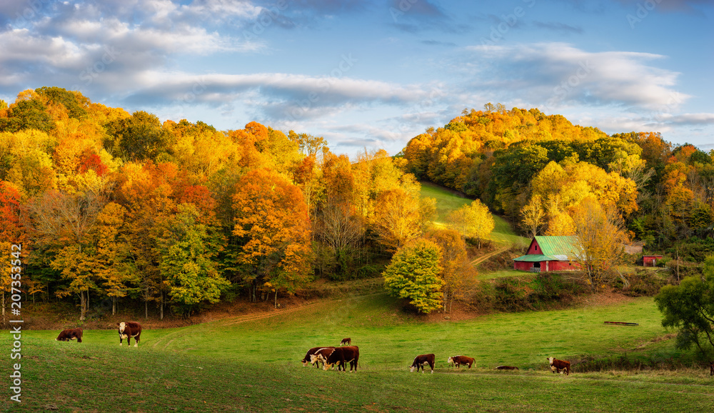 Fototapety, obrazy: Autumn Appalachian farm at the end of the day - cows on back roads near Boone North Carolina