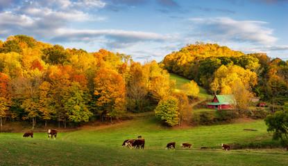 Jesienna farma Appalachów pod koniec dnia - krowy na tylnych drogach w pobliżu Boone North Carolina
