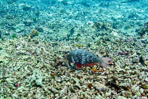 Ember or redlip parrotfish