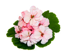 A Geranium Flower And Leaves Against A White Background