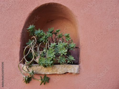 Photo niche in the rosy outer wall of a house with a thick-leaf plant in a pot, very d