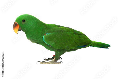 Isolated of Male Eclectus Parrot, age five months