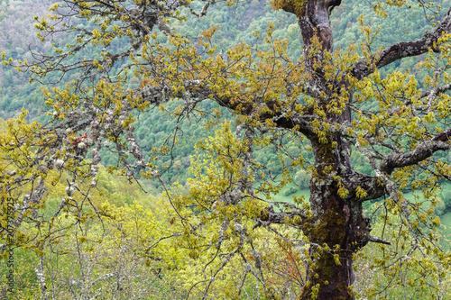 Roble y Valle de Laciana. Reserva de la Biosfera del Valle de Laciana, León, España. © LFRabanedo