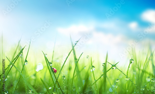 Obraz Fresh juicy young grass in droplets of morning dew and a ladybug in summer spring against blue sky on nature macro. Drops of water on the grass, natural wallpaper, soft focus, copy space. - fototapety do salonu