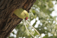 A Curious Parakeet Looking Out Of The Nest Inside Bharatpur Bird Sanctuary