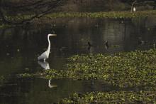 An Egret Standing Tall Inside A Swamp In Bharatpur Bird Sanctuary