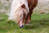 A portrait of a lone Shetland Pony on a Scottish Moor on the Shetland Islands