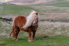 A Portrait Of A Lone Shetland Pony On A Scottish Moor On The Shetland Islands
