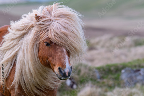 Photographie A portrait of a lone Shetland Pony on a Scottish Moor on the Shetland Islands
