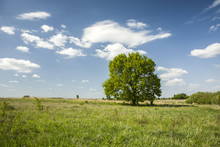 Large Lonely Tree In A Green Meadow And Clouds In The Sky