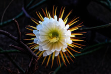 Cactus Queen Of The Night. Night-blooming Cereus Latin Name Selenicereus Grandiflorus