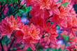 Close-up of pink rhododendron. Selective focus and shallow depth of field.