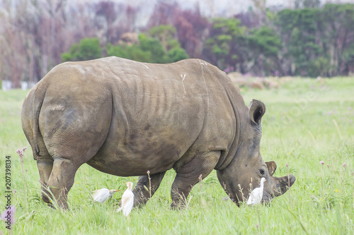 Foto op Aluminium Neushoorn Rhino grazing with birds around