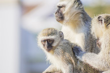 Vervet Monkies Cleaning Their Young