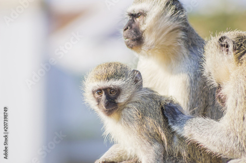 Vervet Monkies cleaning their young Poster