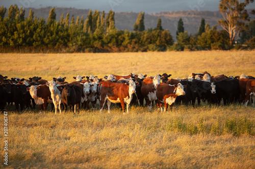 Vászonkép Beef cattle in pasture at sunset