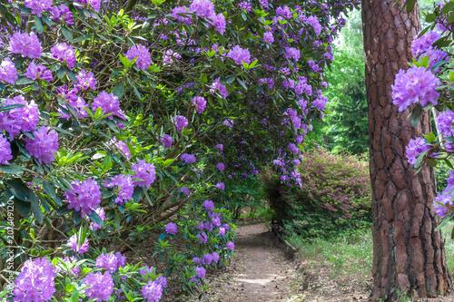 Cadres-photo bureau Jardin Rhododendron garden flower in lovely lightening. Utrecht Province, Driebergen Netherlands
