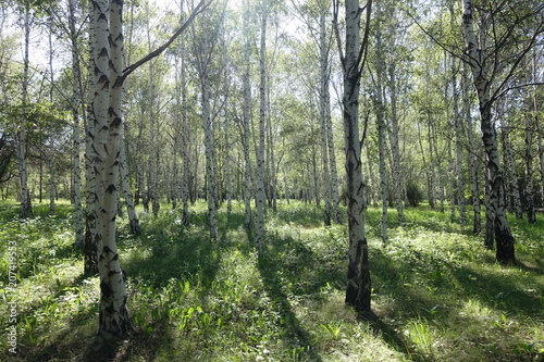 Papiers peints Bosquet de bouleaux Sunny day in birch grove in May
