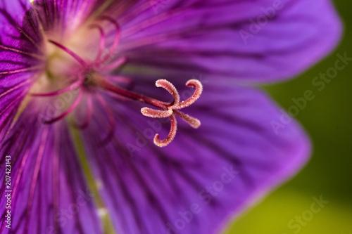 Foto op Plexiglas Macrofotografie Makro Stempel einer lila Blume