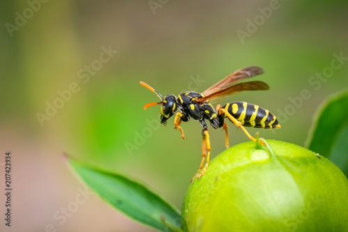 Paper Wasp (Poliste Dominula) Tapéta, Fotótapéta