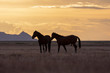 Wild horse Stallions Silhouetted at Sunset