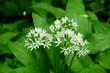 canvas print picture - Baerlauch, Allium ursinum, Bluete Nahansicht