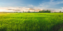 Landscape Of Rice And Rice Seed In The Farm With Beautiful Blue Sky