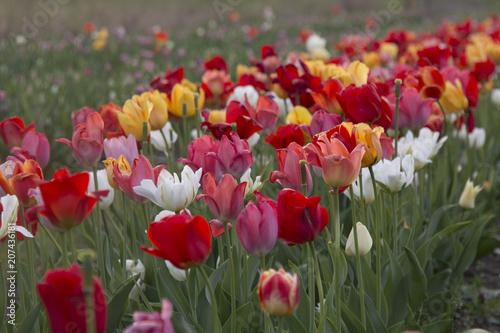 Foto op Plexiglas Tulp Tulpenfelder