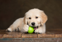 Golden Retriever Puppy Chewing...