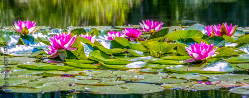 Photo Stands Water lilies Seerosen (Nymphaea)