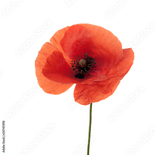 bright red poppy flower isolated on white - 207451918
