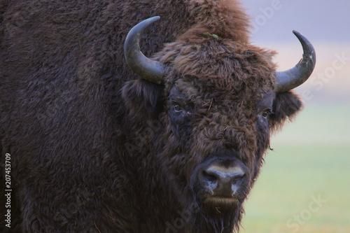 Foto op Aluminium Bison European Bison. Bison bonasus.