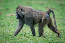 Male Olive Baboon Crosses Gras...
