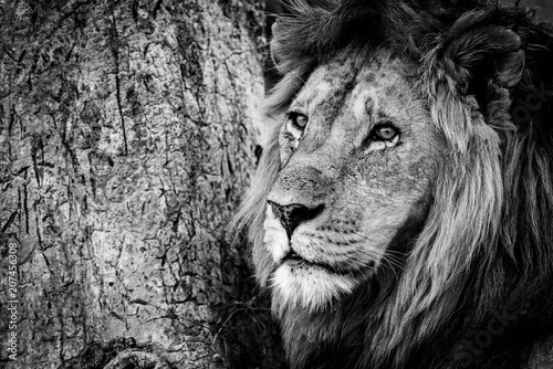 Fototapety, obrazy: Mono close-up of male lion beside tree