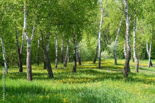 Landscape with birch trees and dandelion flowers