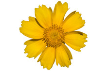 Coreopsis Yellow Flower In The...