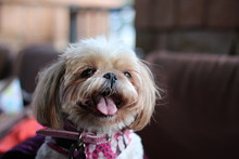 Happy Adorable Face Of A Shih ...