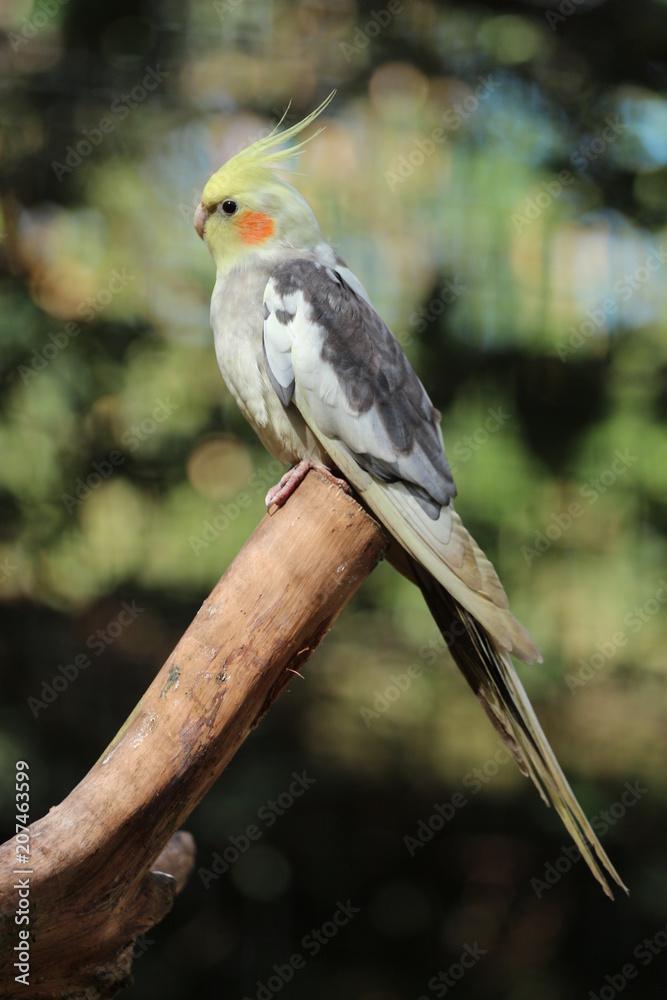 Cockatiel on a Stick / Pet Bird Foto, Poster, Wandbilder bei EuroPosters