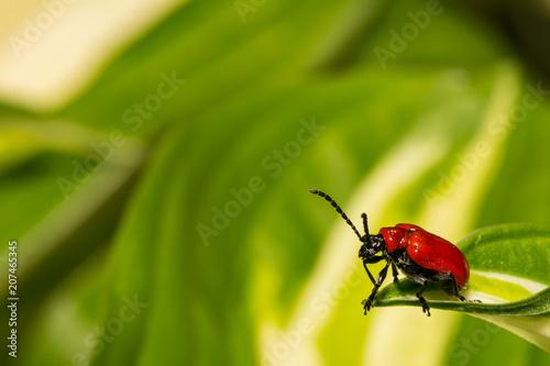 Fotografía  Lily Leaf Beetle (Lilioceris lilii)