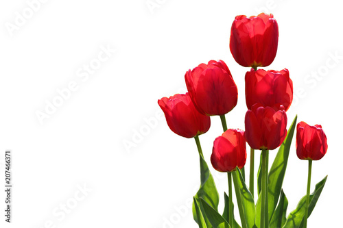 Photo  Tulip Plants