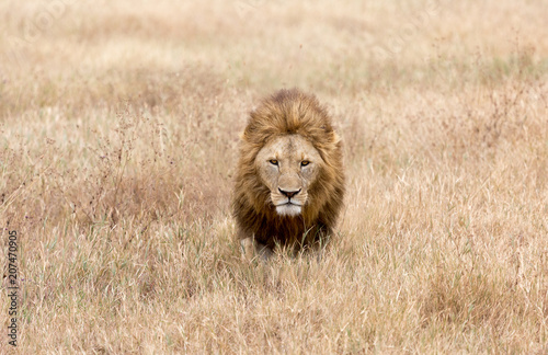 Male adult lion in a field of tan grass in the Ngorongoro Crater, Tanzania