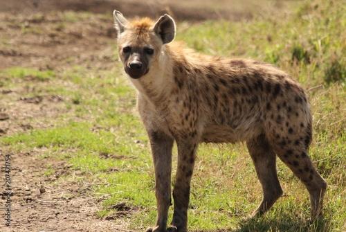 Papiers peints Hyène Young hyena on the African Savannah