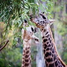Two Giraffe Eating