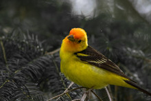 A Western Tanager In The North Cascades