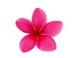 canvas print picture - single red frangipani isolated white background