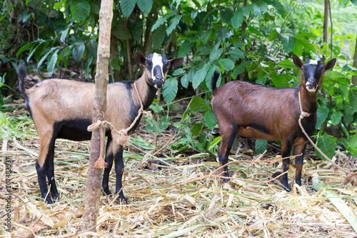 Photo  Two white-and-brown-and-black goats tied to a tree