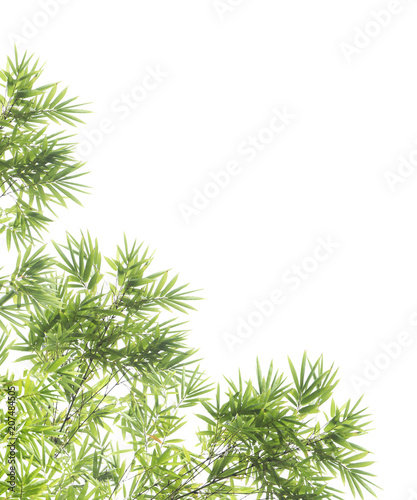 Green leaves and branch isolated on white background