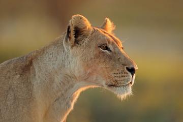 Portrait of an African lioness (Panthera leo), Kalahari desert, South Africa.