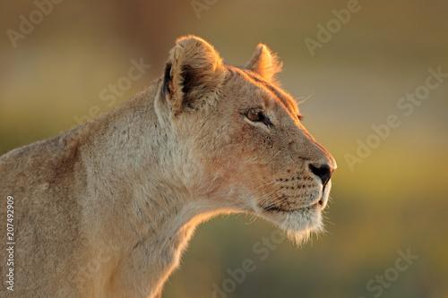 Obraz na plátne Portrait of an African lioness (Panthera leo), Kalahari desert, South Africa