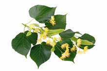 Branch Of Linden Flowers Isolated On White Background
